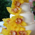yellow_orchids.jpg